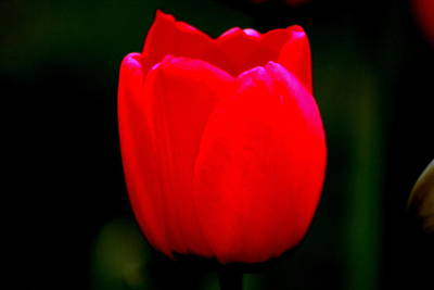 Photograph - Red Red Tulip by Kay Novy