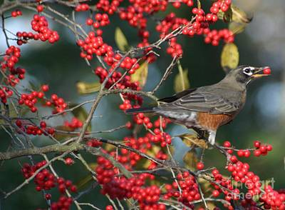 Photograph - Red Robin by Living Color Photography Lorraine Lynch