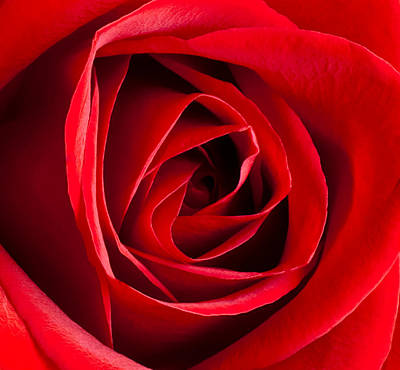 Photograph - Red Rose Center by Joe Carini - Printscapes