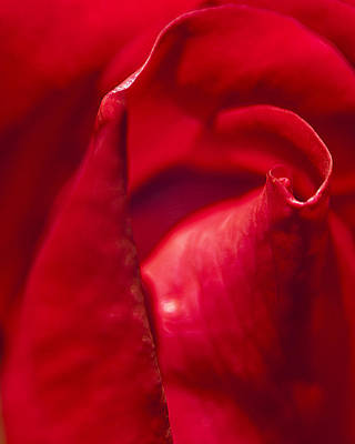 Red Rose Close Art Print