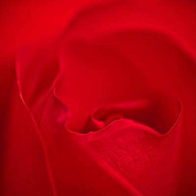 Photograph - Red Rose Closeup by  Onyonet  Photo Studios
