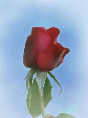 Photograph - Red Rose by Ernie Echols