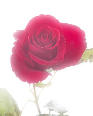 Red Rose Isolated On White Fog Art Print by M K  Miller