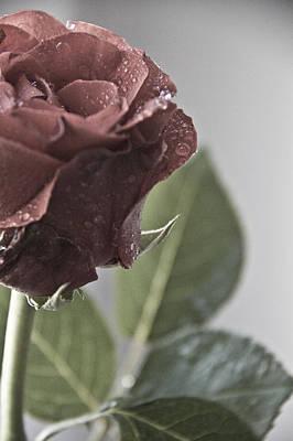 Photograph - Red Rose  by Svetlana Batalina