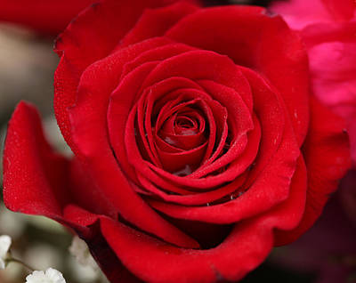 Photograph - Red Rose Of Love II by Sheila Kay McIntyre