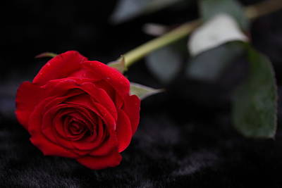 Photograph - Red Rose by Sheila Kay McIntyre
