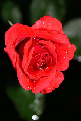 Photograph - Red Rose With Rain Drops by Emanuel Tanjala