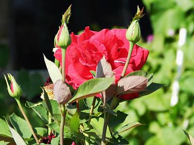 Red Roses Art Print by LaDonna Vinson
