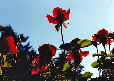 Photograph - Red Roses Rising by Barbara Plattenburg