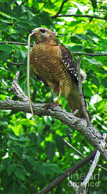 Photograph - Red Shoulder Hawk by Deborah Johnson