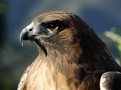 Ojai Wall Art - Photograph - Red Shoulder Hawk by Liz Vernand