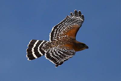 Red-shoulder Hawk Art Print