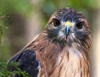 Photograph - Florida Red Shoulder Hawk  by Donna Proctor