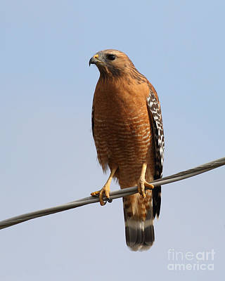 Red Tail Hawk Photograph - Red-shouldered Hawk . 7d10246 by Wingsdomain Art and Photography