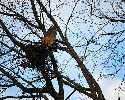 Photograph - Red Shouldered Hawk Building Her Nest by Jai Johnson