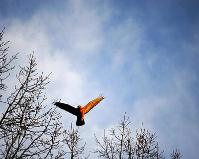 Photograph - Red Shouldered Hawk In Flight by Jai Johnson