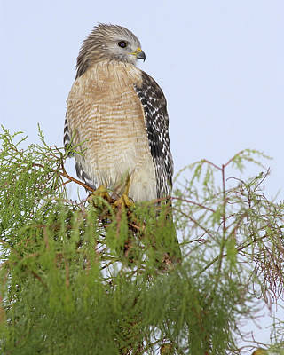 Photograph - Red Shouldered Hawk by Patrick M Lynch