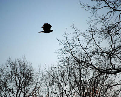 Photograph - Red Shouldered Hawk Silhouette by Jai Johnson