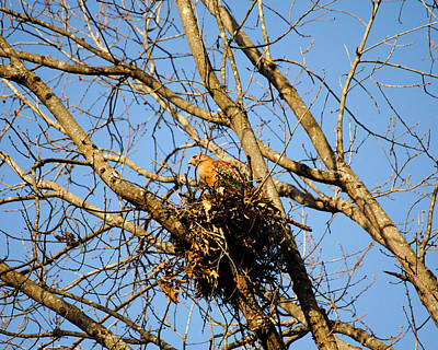 Photograph - Red Shouldered Hawk Sitting In Nest by Jai Johnson