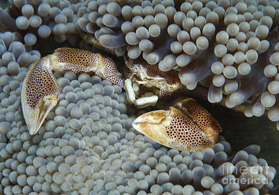 Porcelain Crabs Photograph - Red-spotted Porcelain Crab Hiding by Mathieu Meur