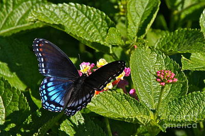 Photograph - Red Spotted Purple And Lantana by Byron Varvarigos