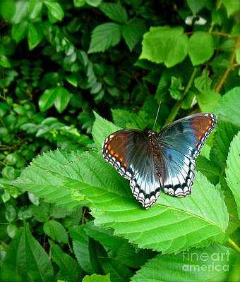 Photograph - Red Spotted Purple Butterfly by Nancy Patterson