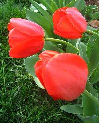 Photograph - Red Spring Tulips by Deb Martin-Webster