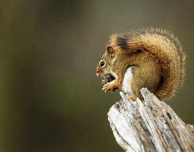 Photograph - Red Squirrel by Al  Mueller