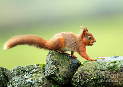 Red Squirrel Art Print by Clare Scott