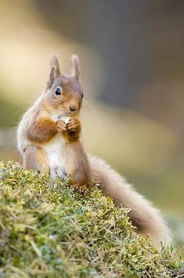 Red Squirrel Feeding Art Print by Duncan Shaw