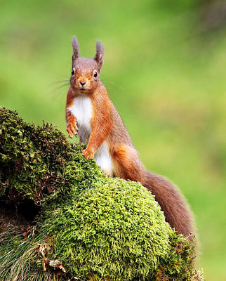 Dumfries Photograph - Red Squirrel by Grant Glendinning