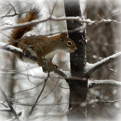 Janet Smith Photograph - Red Squirrel  by Janet Smith