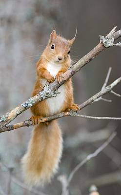 Red Squirrel On A Branch Art Print