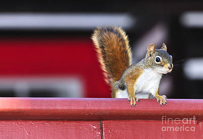Photograph - Red Squirrel On Railing by Elena Elisseeva