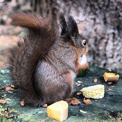 Norfolk Wall Art - Photograph - Red Squirrel #red  #norfolk by Jo Shaw