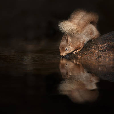 Red Squirrel Reflection Art Print