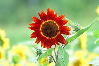 Red Sunflower 2 Art Print by Edward Sobuta