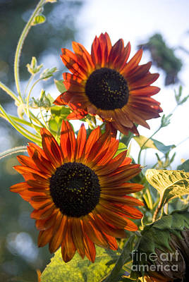 Photograph - Red Sunflowers by Jim And Emily Bush