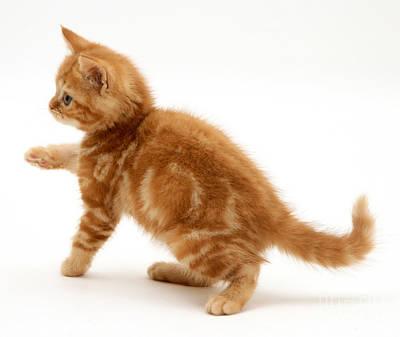 Red Tabby Kitten Print by Jane Burton