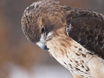 Red Tail Hawk Art Print by Cindy Lindow