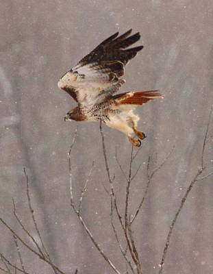 Photograph - Red Tail Hawk by Coby Cooper