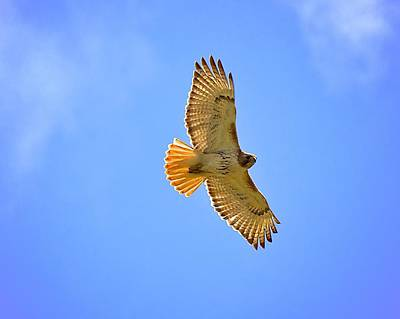 Art Print featuring the photograph Red-tail Hawk by Joe Urbz