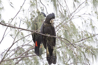 Cockatoo Photograph - Red Tailed Black Cockatoos by Douglas Barnard