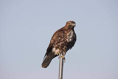 Photograph - Red-tailed Hawk - Immature - 0019 by S and S Photo