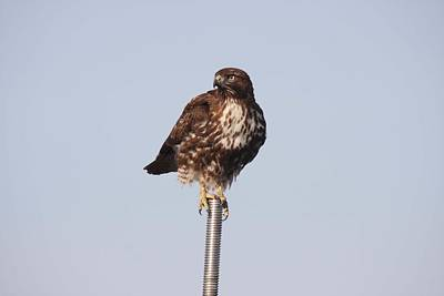 Photograph - Red-tailed Hawk - Immature - 0020 by S and S Photo