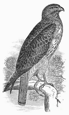 Red Tail Hawk Photograph - Red-tailed Hawk, 1890 by Granger