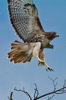 Red Tail Hawk Photograph - Red-tailed Hawk by Bill Lindsay