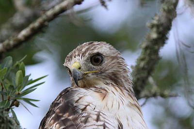Red-tailed Hawk Has Superior Vision Print by Travis Truelove