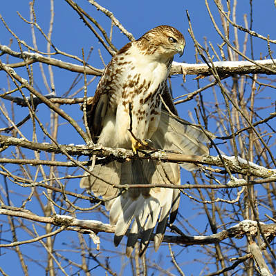 Photograph - Red Tailed Hawk In Winter by Rodney Campbell
