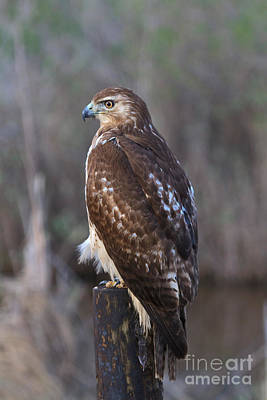 Red Tail Hawk Photograph - Red-tailed Hawk by Louise Heusinkveld